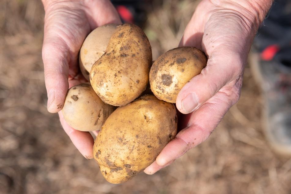 Leipzig: Mäßige Kartoffel-Ernte erwartet: Warum die Knollen in Sachsen nicht rollen