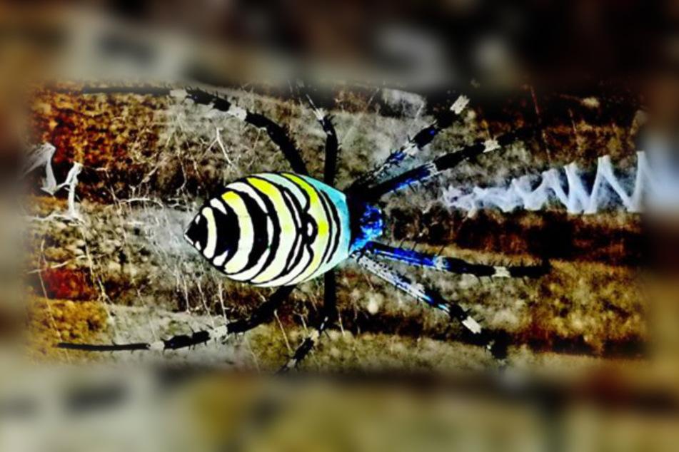 Ein weiteres, wunderschönes Exemplar einer Wespenspinne aus Deutschland.