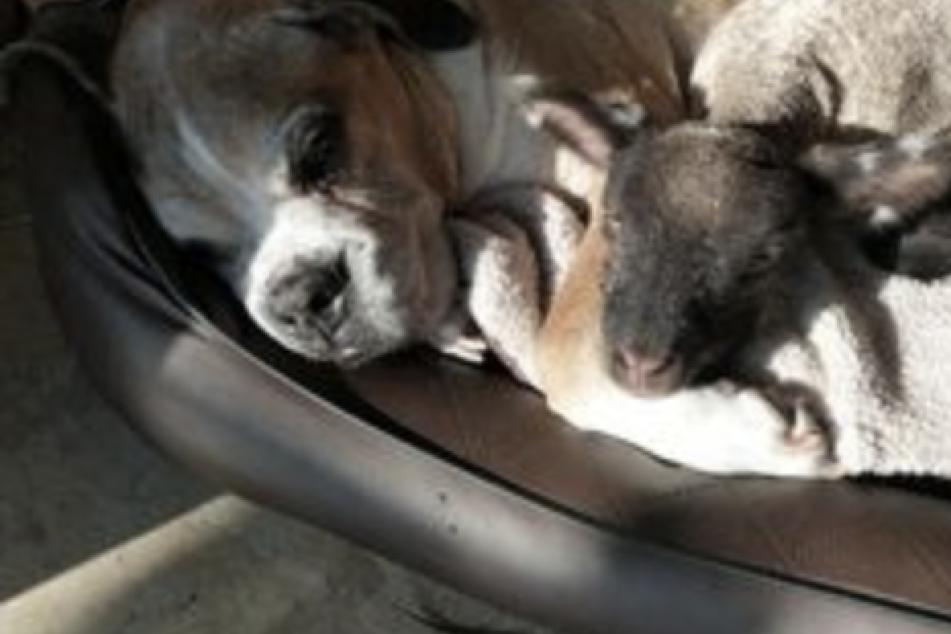 Lamm Olaf kuschelt mit Boxerrüde Tommy in einem Körbchen. In seiner neuen Familie hat sich das Baby-Schaf schon sehr gut eingelebt.