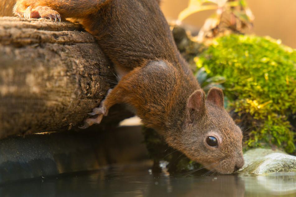 Ein Eichhörnchen stillt seinen Durst an einer Tränke.