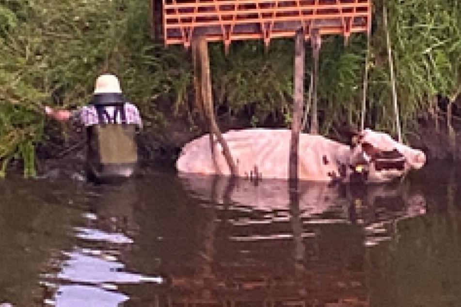 Lokführer sieht Kuh in gefährlicher Lage und reagiert genau richtig