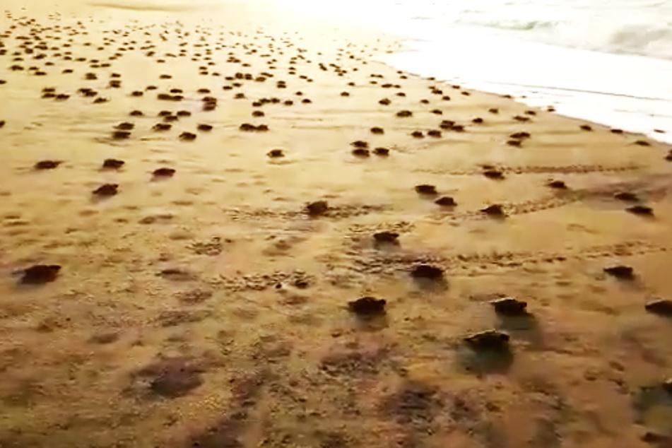 Tausende Schildkröten und Seesterne erobern Strände
