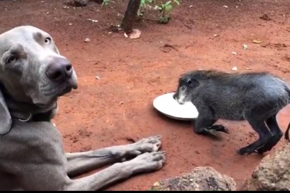 Nanu? Klaut das Warzenschwein etwa hier die Mahlzeit von einem Hund?
