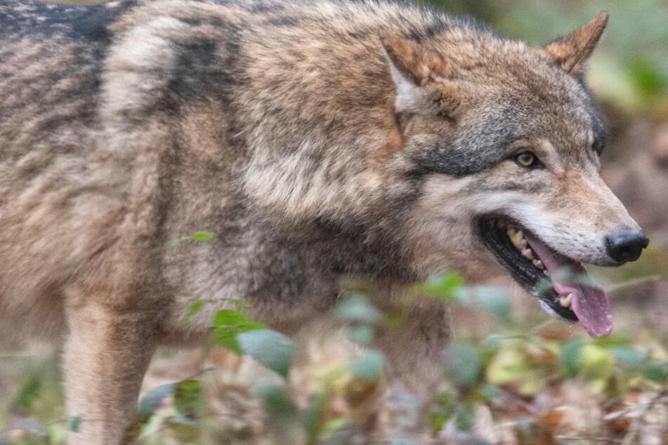 Wölfe: Rothirsche, Damwild und Schafe: Drei Wölfe attackieren in Wildtiergehege