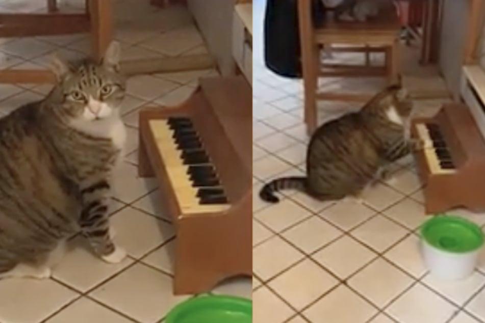 Witziges Video zeigt, wie Kater auf dem Klavier spielt, um Essen zu bekommen