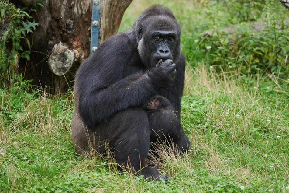 """Gorillafrau """"Muna"""" kümmert sich nach Angaben des Krefelder Zoos sehr liebevoll um ihren Sohn."""