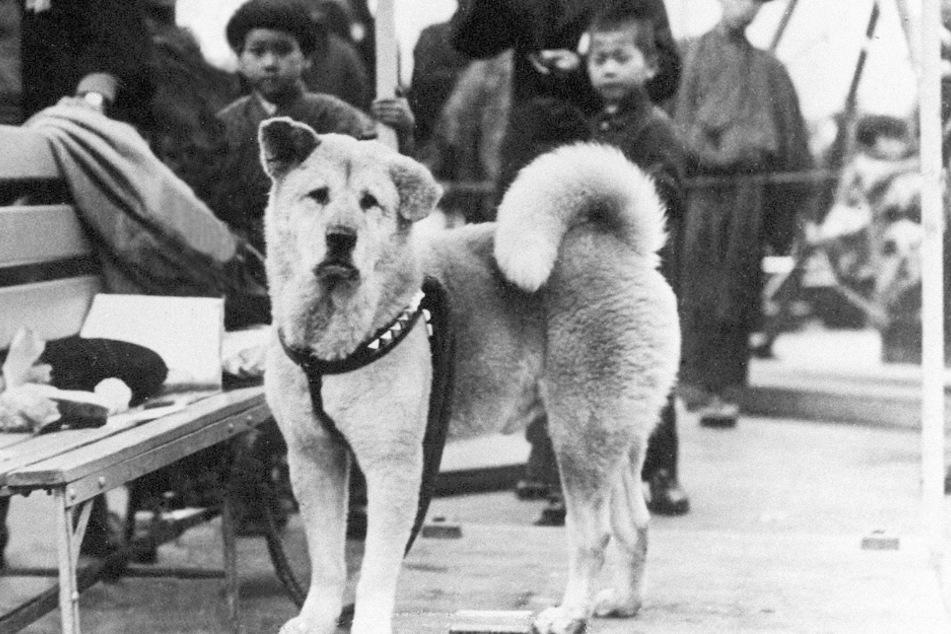 Vor 85 Jahren starb Hachiko, der treueste Hund aller Zeiten