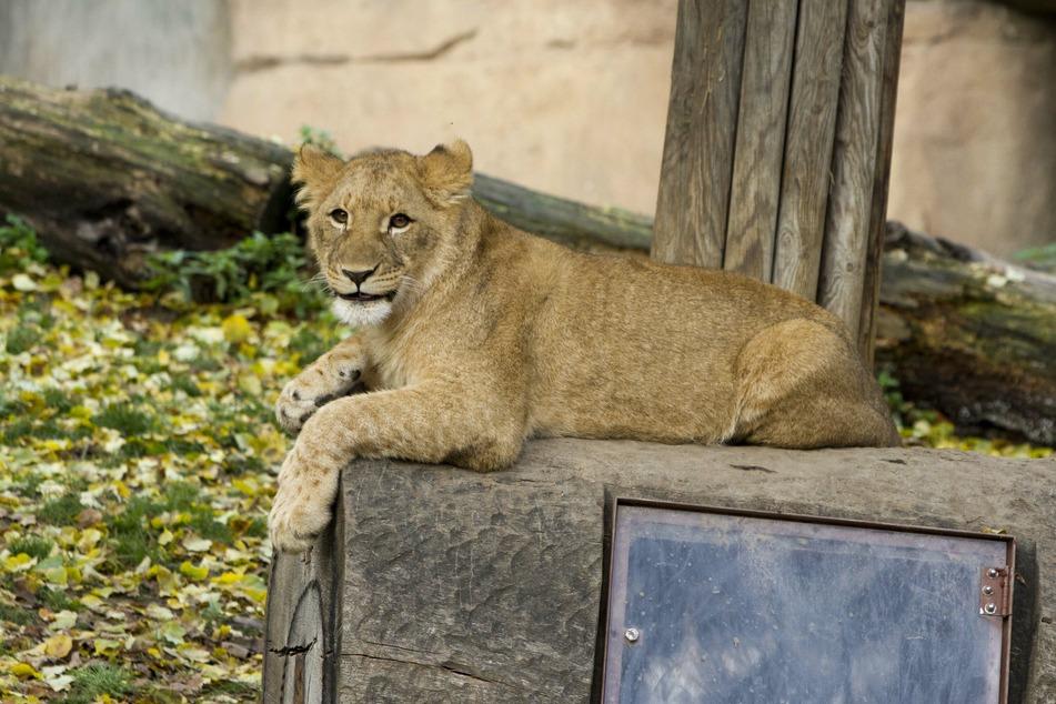 Ein Trost: Löwin Elsa und ihre Geschwister dürfen zusammenbleiben.