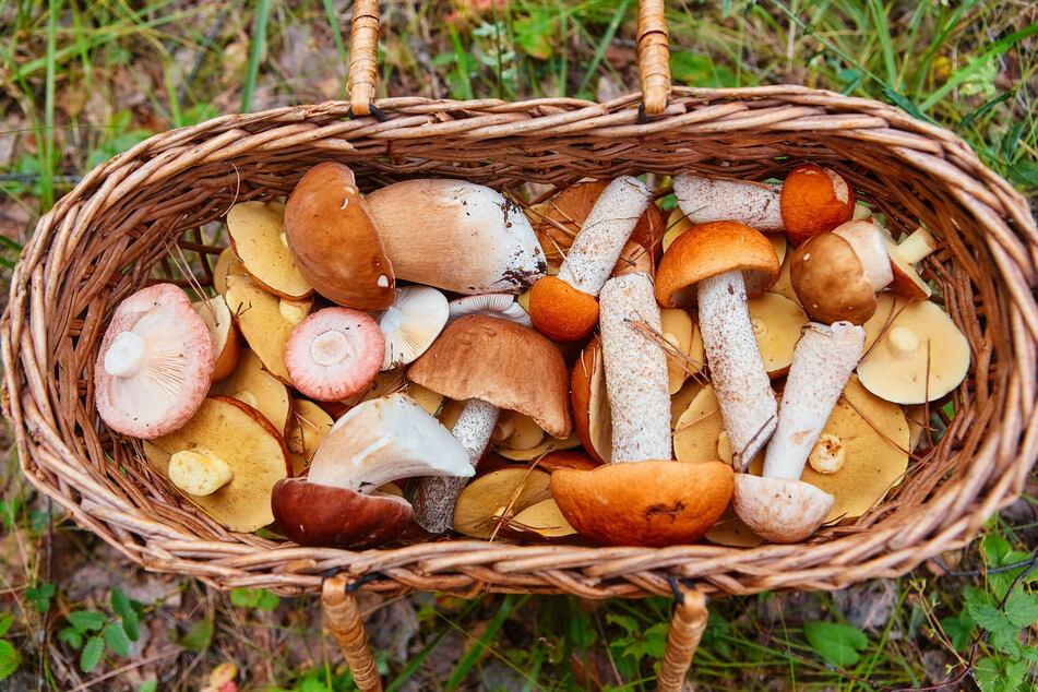 Ein Holz- oder Spankorb bietet sich bestens an, um Pilze zu transportieren.
