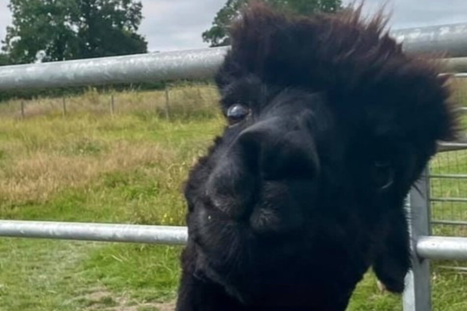 Geronimo the alpaca killed by UK authorities in devastating blow to owner and campaigners