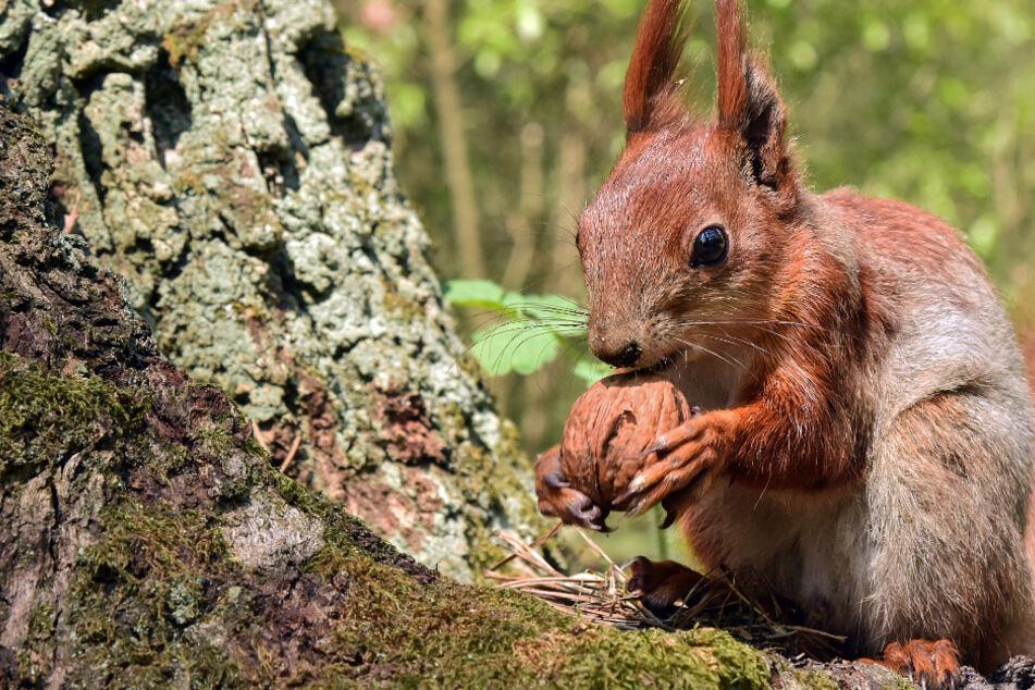 Eichhörnchen fühlen sich dieses Jahr richtig wohl, doch ihre Zukunft ist nicht rosig