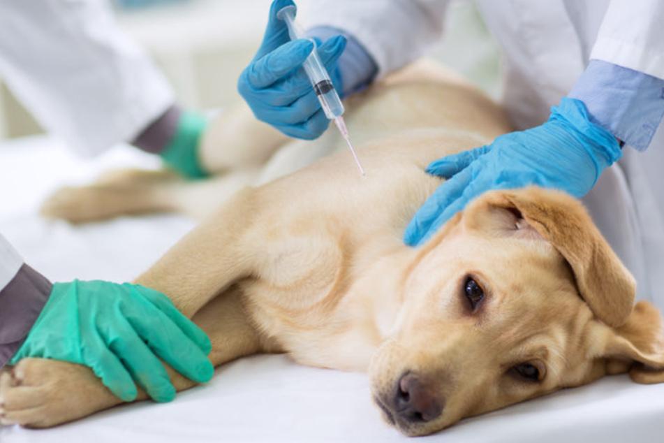Tollwut: Muss man seinen Hund dagegen impfen?