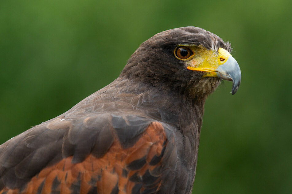 Vor allem Greifvögel, wie dieser Bussard, werden Opfer der Tiertöter. (Symbolbild)