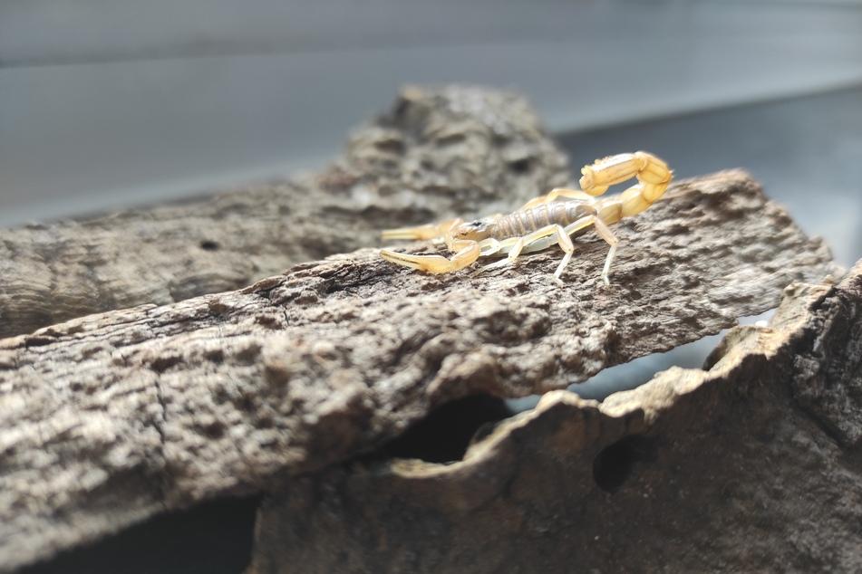 Ein Reptilien-Fachmann stellte vor Ort fest, dass der leicht bis mittel giftige Skorpion sich in einem guten Gesundheitszustand befand.