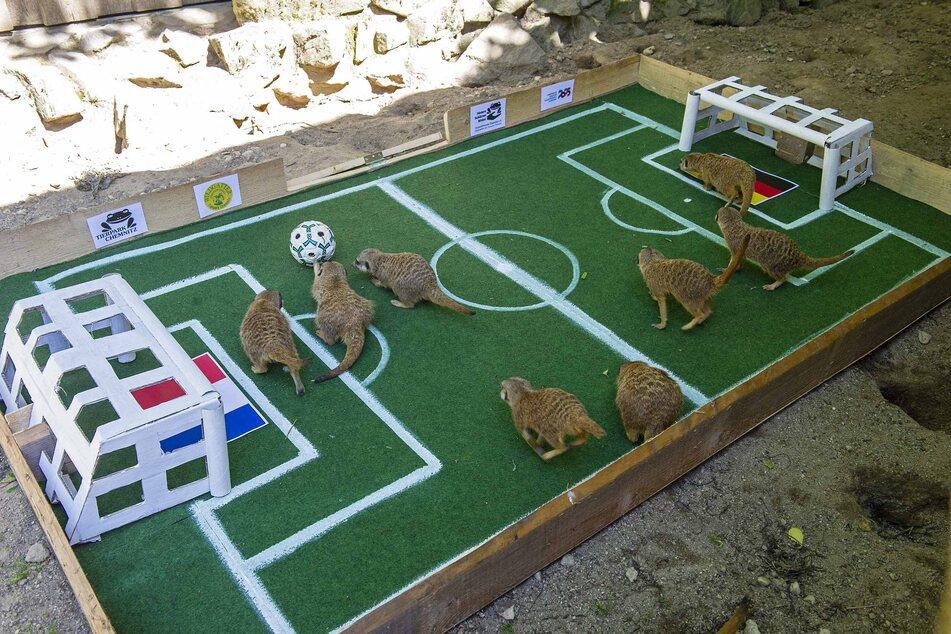 Im Chemnitzer Tierpark gaben die Erdmännchen am Montag ihren Tipp zum EM-Spiel Deutschland gegen Frankreich ab.