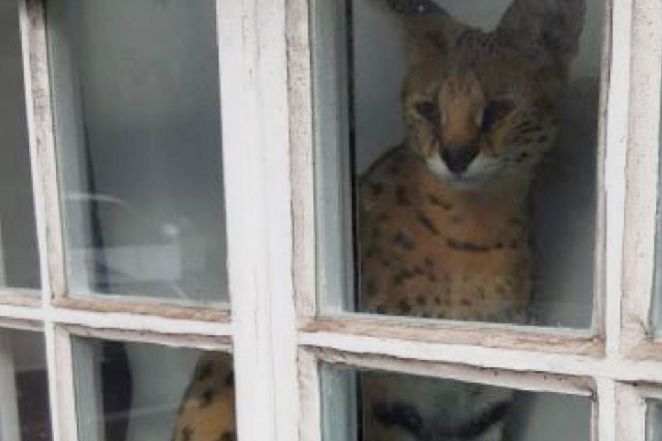 Nachbar ist schockiert, als er diese Katze sieht und ruft sofort die Polizei
