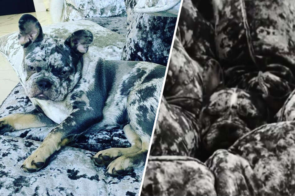 Masters of disguise: puppies turn into chameleons when they cuddle on the couch