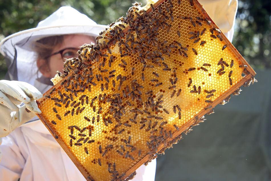 In NRW gibt es laut Landwirtschaftskammer rund 17.200 Imker mit etwa 110.000 Bienenvölkern. Die allermeisten Imker machen dies als Hobby. (Symbolfoto)