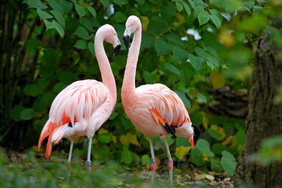 Diebstahl aus dem Tierpark: Wer hat das Flamingo-Weibchen gestohlen?