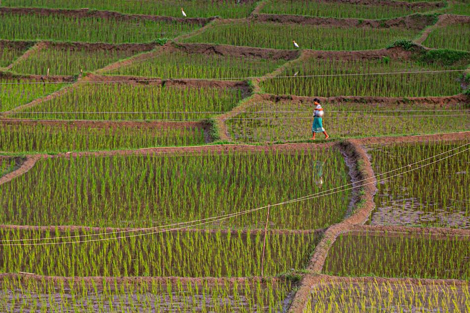 In Indien wird sehr viel Reis angebaut. Auch hier gilt es als fester Bestandteil der täglichen Ernährung.