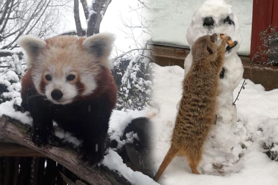 Winterspaß im Zoo Leipzig: Diese Tiere genießen den Schnee!
