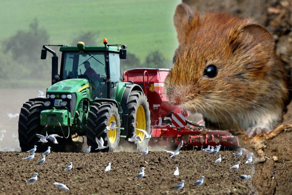 Kaum ausgebracht, schon vertilgt: Die Getreide- und Rapssaaten liegen noch nicht lange auf den Feldern, sind aber schon bedroht. Feldmäuse (r.) fressen nicht nur die Körner, sondern machen sich auch an den Jungpflanzen zu schaffen.