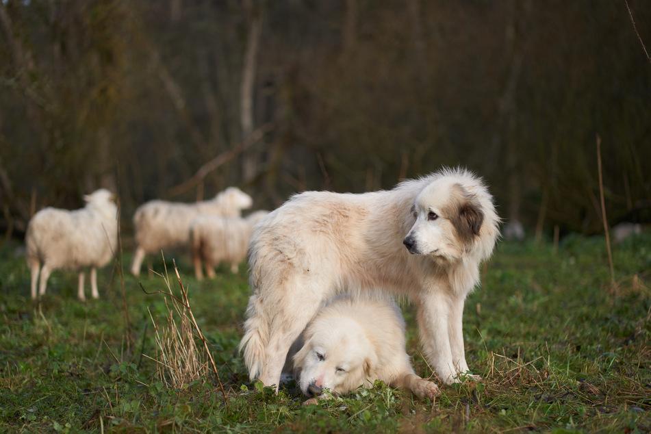Die Herdenschutzhunde Biene und Günther, Pyrenäen-Berghunde, bewachen eine Schafherde in der Eifel.