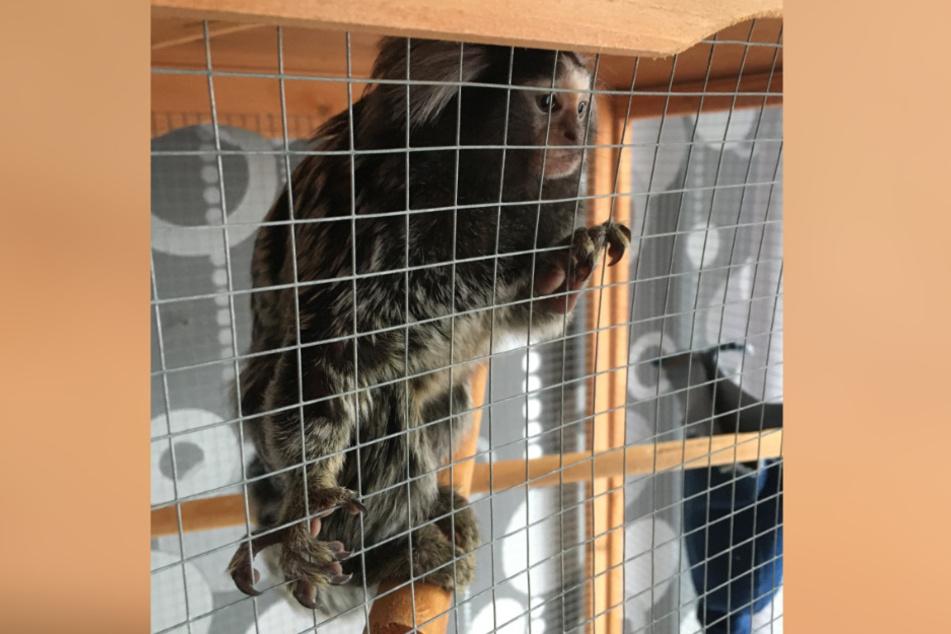 Affe in Vogelkäfig gesperrt und mit Nudeln und Bier gefüttert