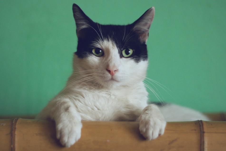 Wissenswertes rund um Katzen (Foto: Unsplash/Manja Vitolic)