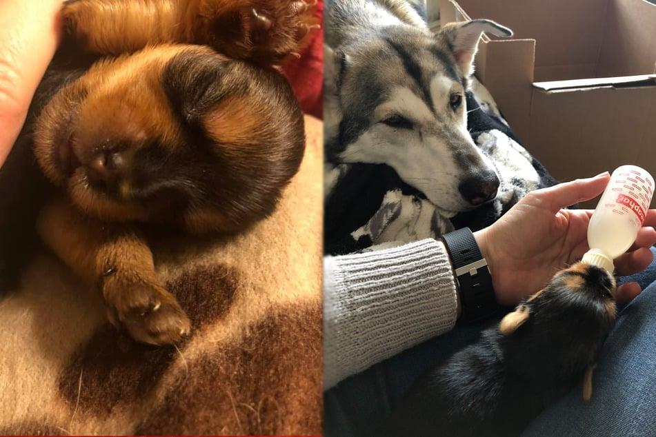 Winziger Welpe hat kaum Überlebens-Chancen, bis ein großer Hund in sein Leben tritt