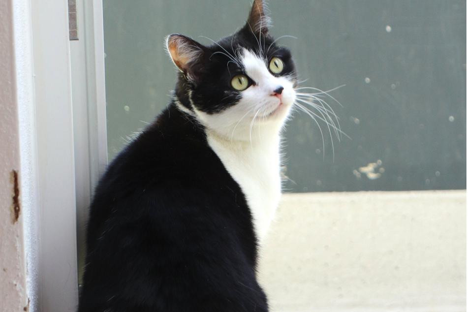 Katze Saskia will beschäftigt werden und würde gerne gesicherten Freigang genießen.