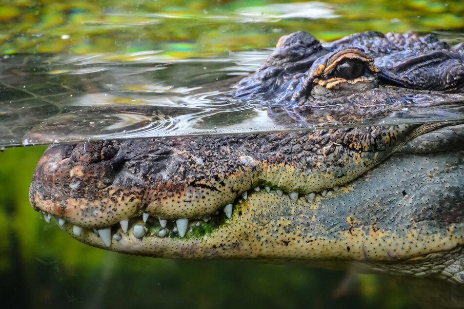 Krokodil beißt Mann in den Kopf: So überraschend reagiert er