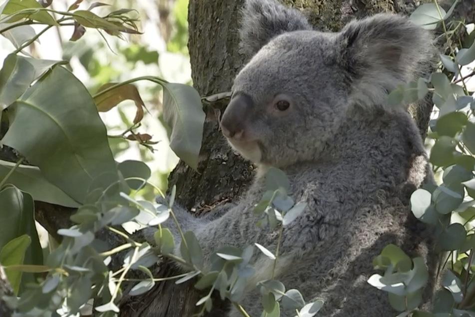"""""""Elefant, Tiger & Co."""": So entdeckten Pfleger die Schwangerschaft von Koala-Dame Mandie"""