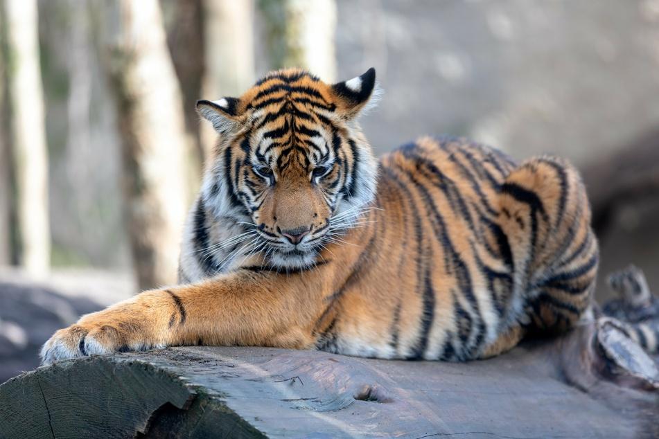 A Sumatran tiger in its enclosure at the zoo.