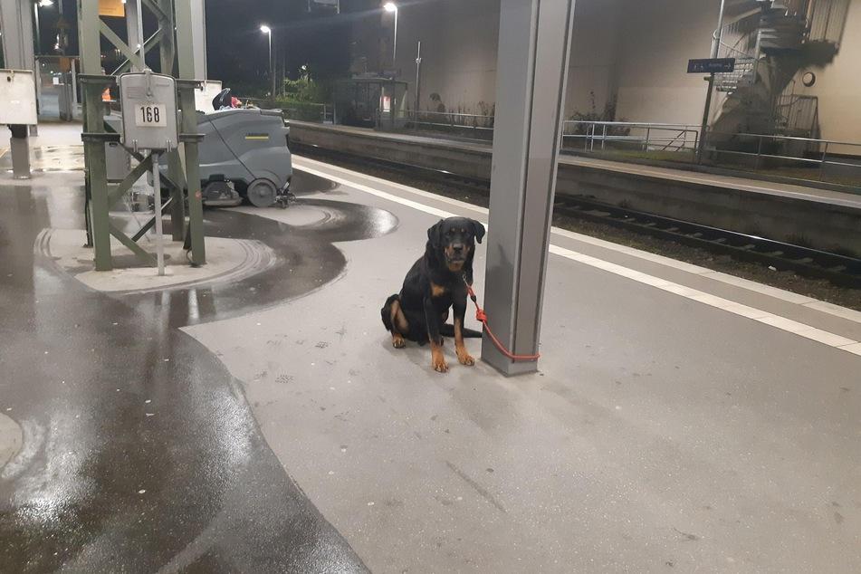 Der Rottweiler sitzt angebunden am Gleis.