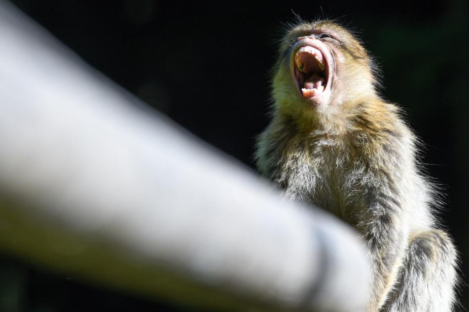 Plötzlich sitzen zwei Affen auf einem Hausdach: Wo kommen die denn nur her?