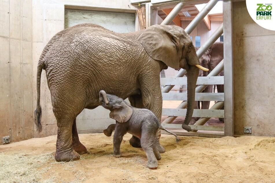 Elefantenmama Chupa und ihr noch namenloser Nachwuchs.