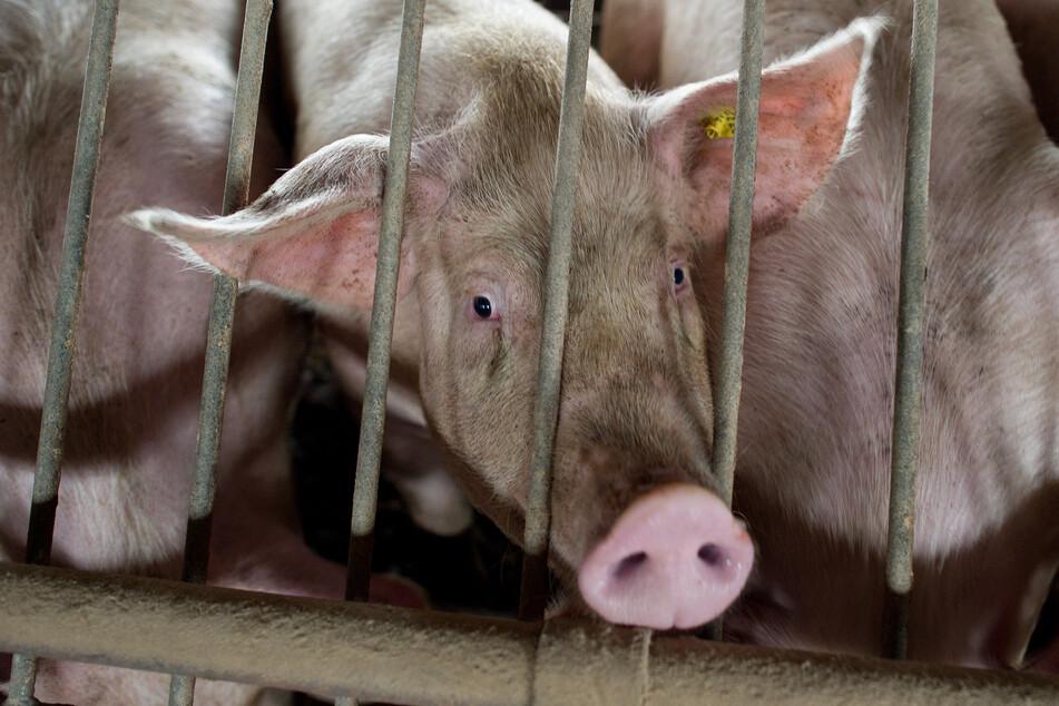 So viele Schweine werden täglich in NRW geschlachtet