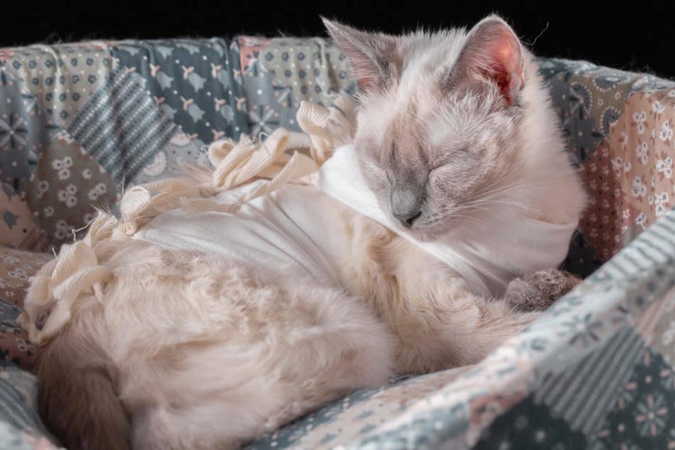 Aufgeschnittene Pfoten, abgerissene Ohren: Geht hier ein Katzen-Schänder um?