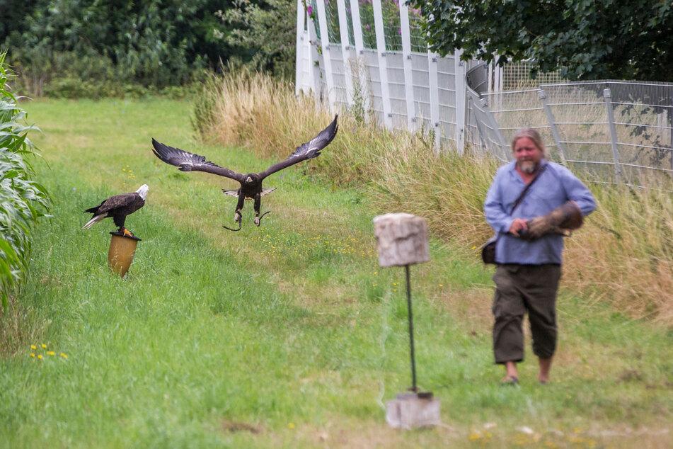 Auch sein eigener Seeadler (l.) sollte das Weibchen zum Futterplatz locken, es klappte: Lagherta kam nach Stunden endlich angeflogen.
