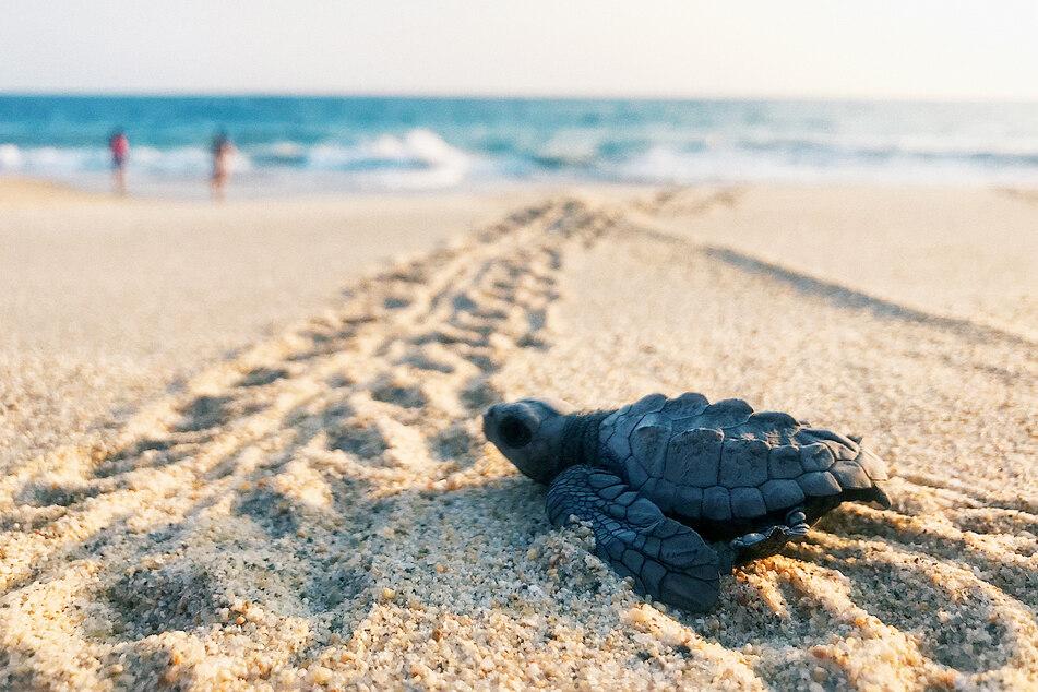 Kleine Schildkröten-Babys hätten bei der Aktion in Gefahr gebracht werden können (Symbolbild).