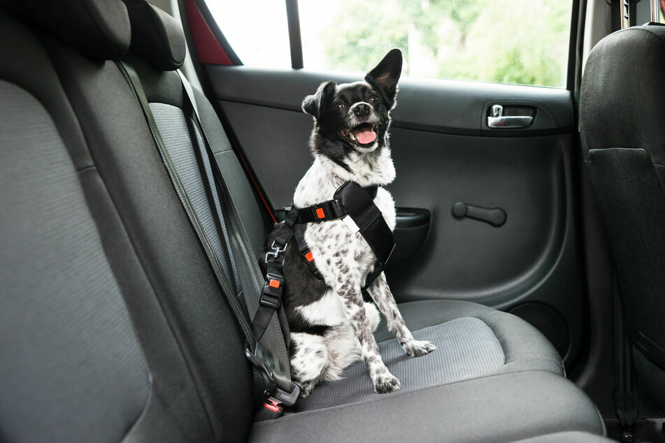 Mit einem speziellen Hundegeschirr fürs Auto kann man das Tier einfach anschnallen.