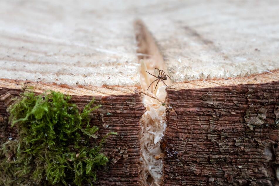 Chemnitz sucht einen neuen Weihnachtsbaum. Eine kleine Spinne sieht sich nach einer neuen Zuflucht um.