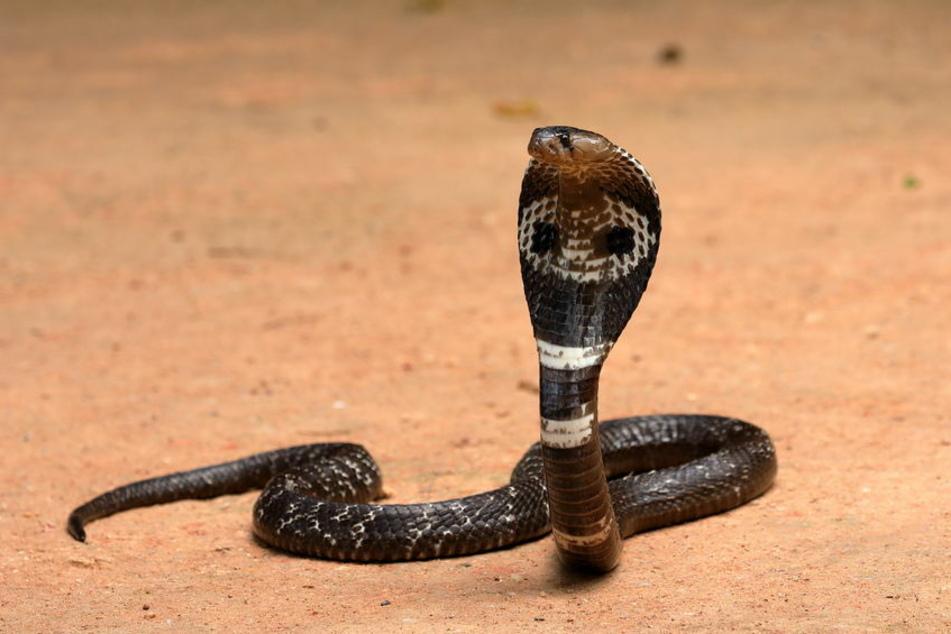 Eine Kobra biss die Ehefrau des Mannes zwei Mal. Die Frau starb an den Folgen des Bisses. (Symbolbild)