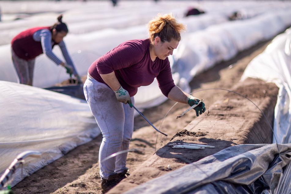 Spargel-Stechen ist eine schwere körperliche Arbeit, die zudem Geschick und Erfahrung verlangt. Nur wenige Erntehelfer aus Deutschland melden sich für diese Jobs.