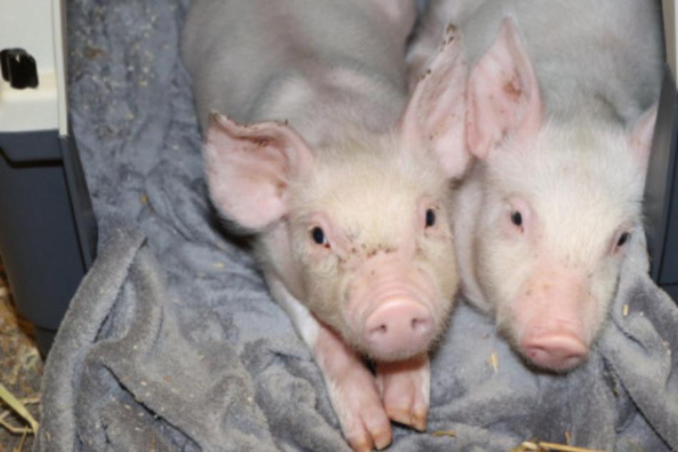 Hat ein Bauer Schweine aus Protest ausgesetzt? Ferkel in Kiste gefunden