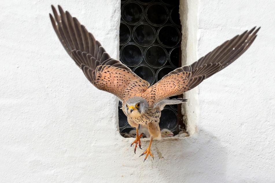 Ein diebischer Falke war im Kreis Rastatt unterwegs. (Symbolbild)