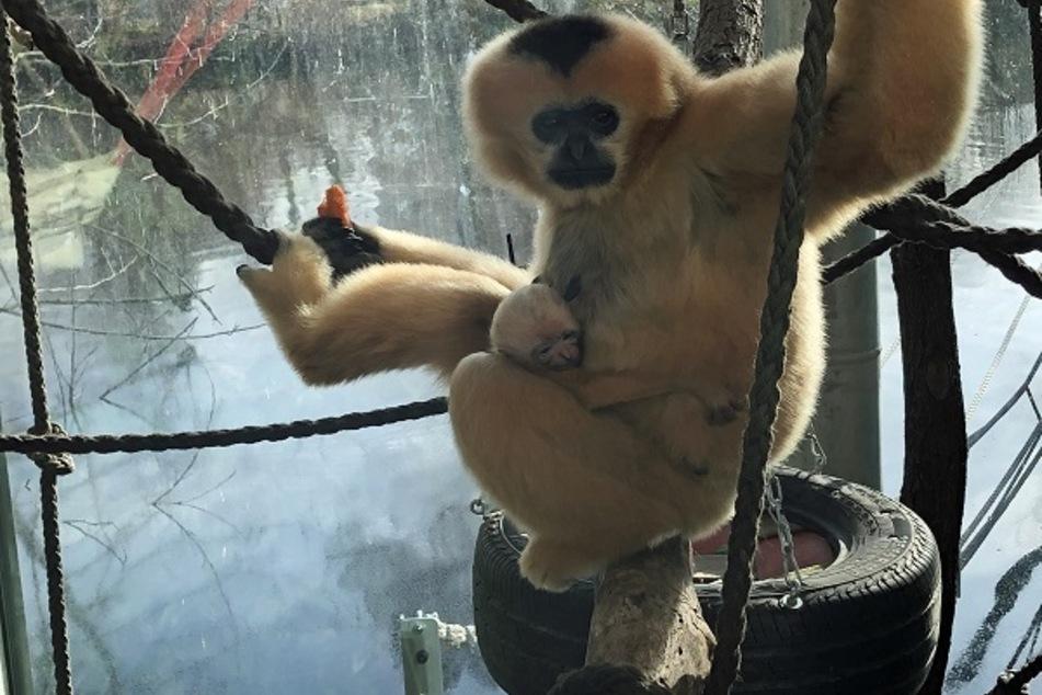 Gleich dreimal Grund zum Jubeln: Äffchen-Zuwachs im Frankfurter Zoo
