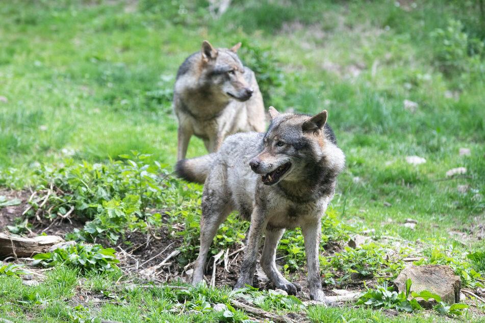 Zwei der Wölfe im ALPHA-Park. (Archivbild)