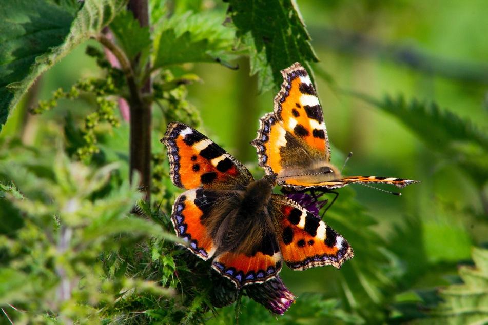 Was fressen Schmetterlinge?